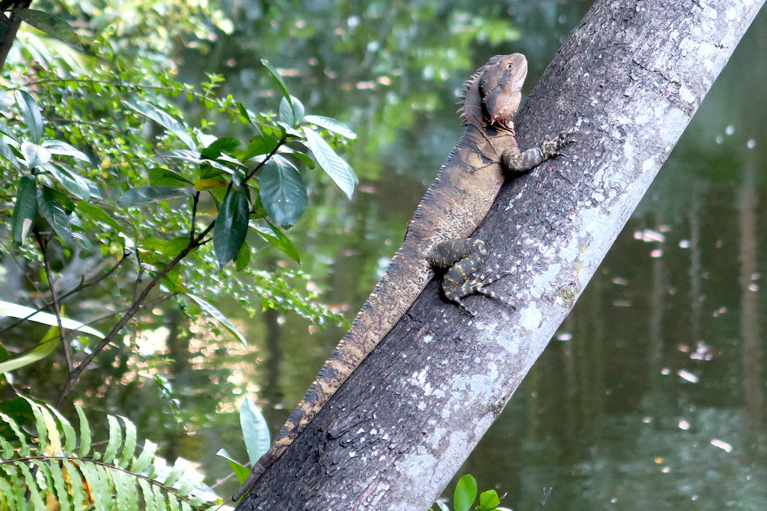 Water dragon, Spirit House, Yandina, Noosa, Queensland