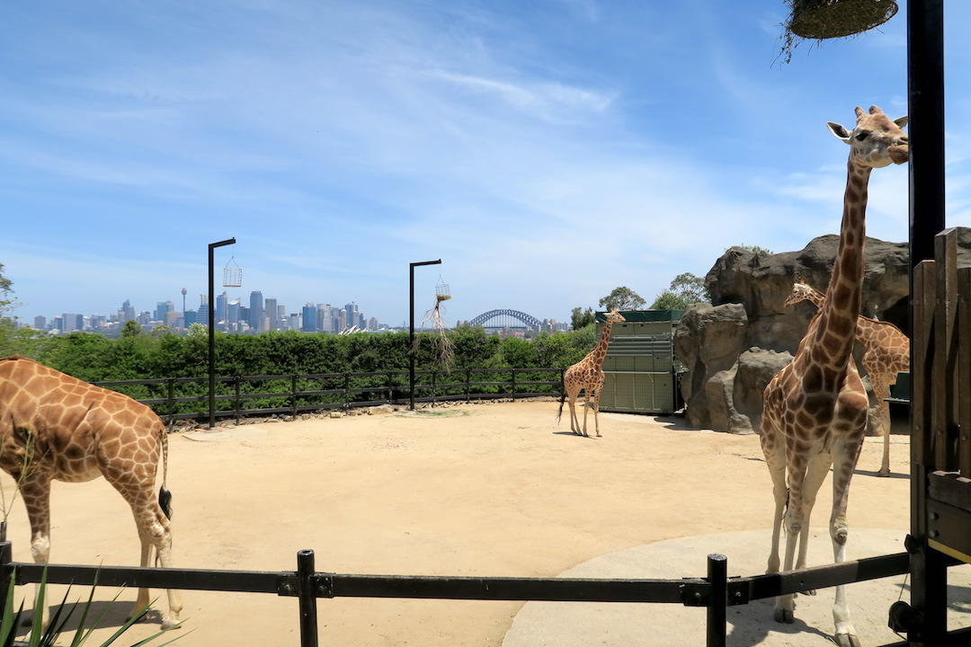Taronga Zoo Sydney A Guide To Visiting The Best Zoo In Australia